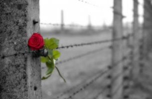 rose on a barbed wire fence