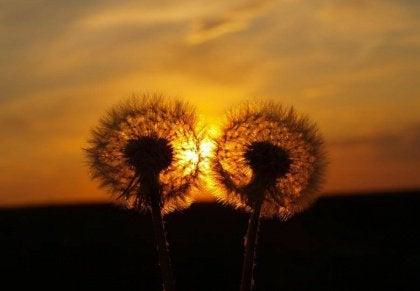 two-dandelions