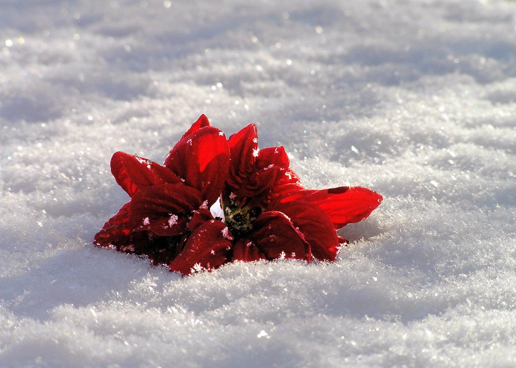 red flower on snow