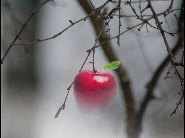 foggy apple tree
