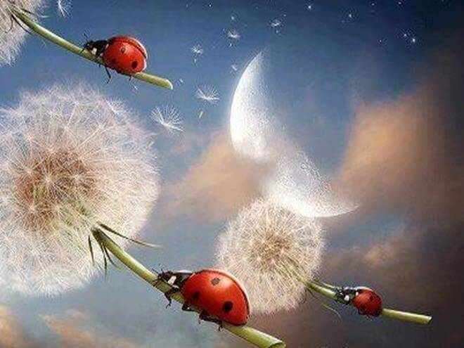 ladybugs-on-dandelions