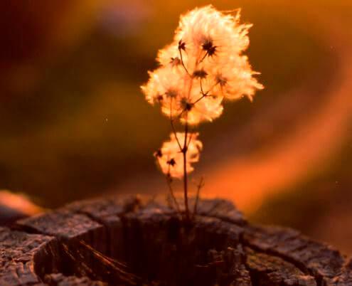 Kuoleva kukka