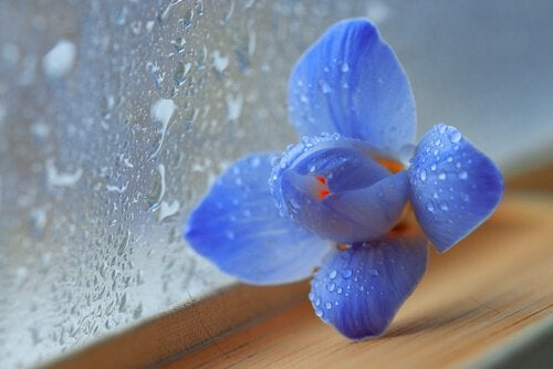 blue flower wet window rain