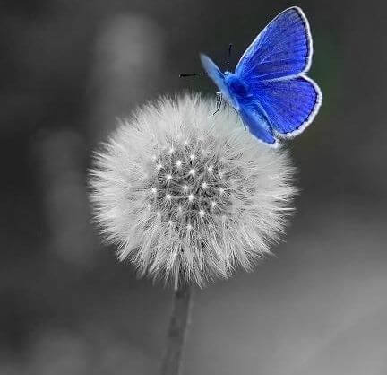blue butterfly on a dandelion