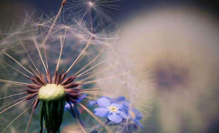close-up-dandelion