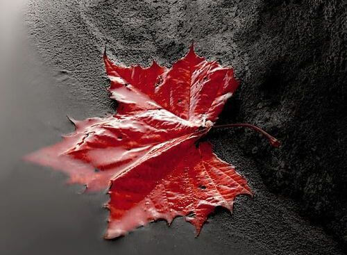 Red Leaf in Water