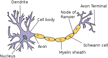 Parts of Neuron