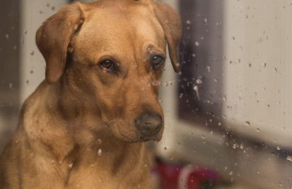 dog looking out rainy window