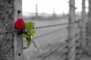 rose in wire fence