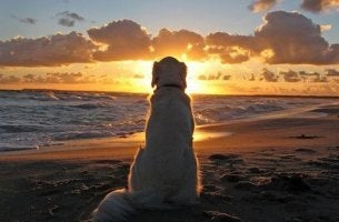 golden retriever looking out at the ocean