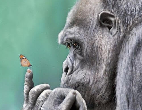 A gorrilla is looking at a butterfly on his finger.
