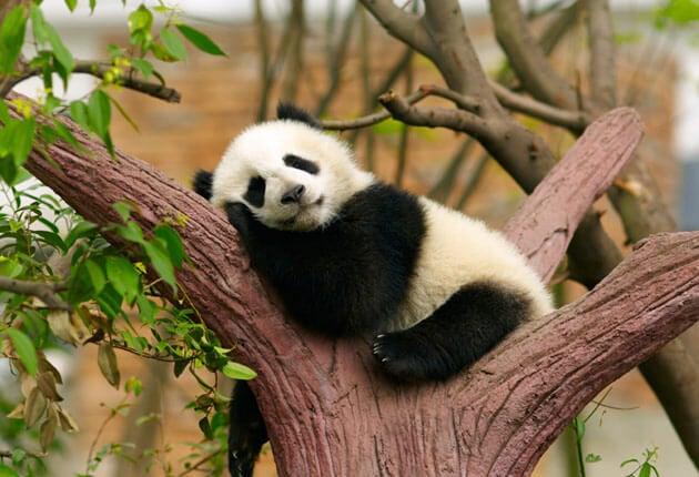 fight laziness panda