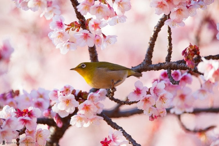 A bird in cherry blossoms exhibiting vulnerability the Japanese way.