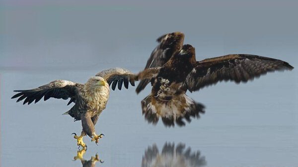 an eagle and a falcon flying together