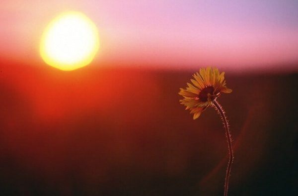a single marigold at sunset
