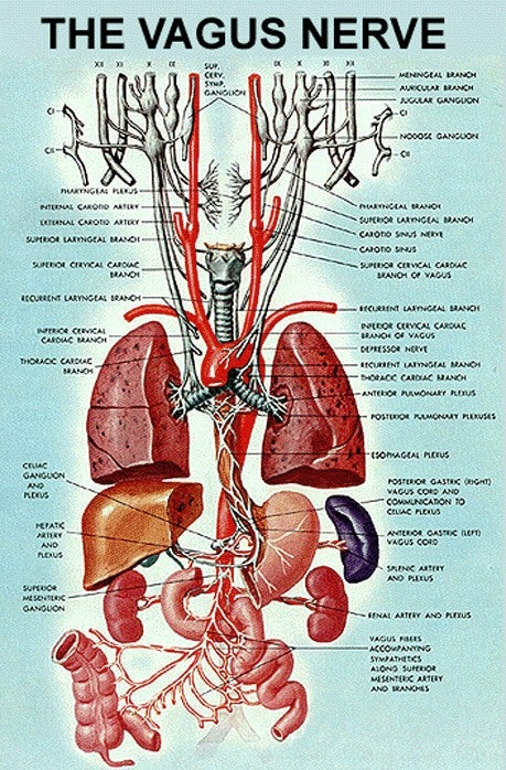 diagram vagus nerve