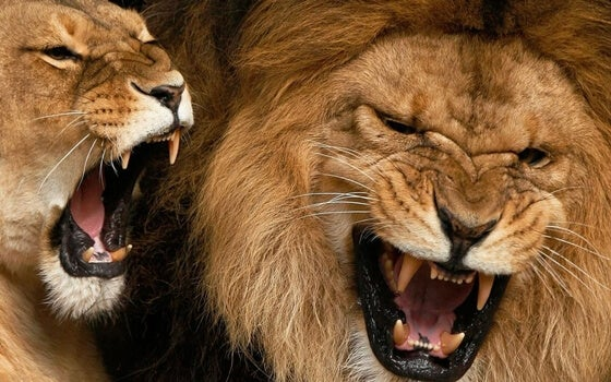 yelling as communication lions