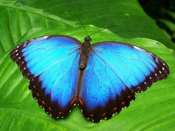 transformation from caterpillar to blue butterfly