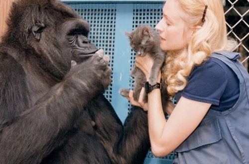 The Sweet Story of Koko, the Smartest Gorilla in the World
