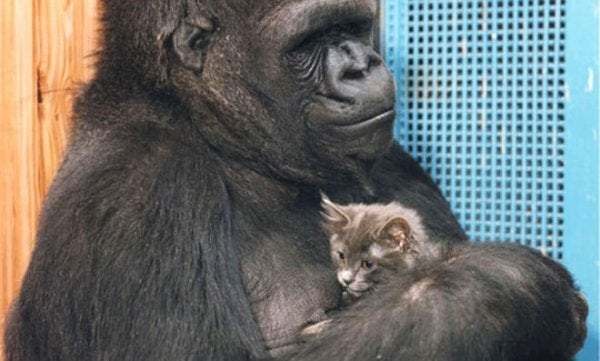 Koko the gorilla and his kitten friend.