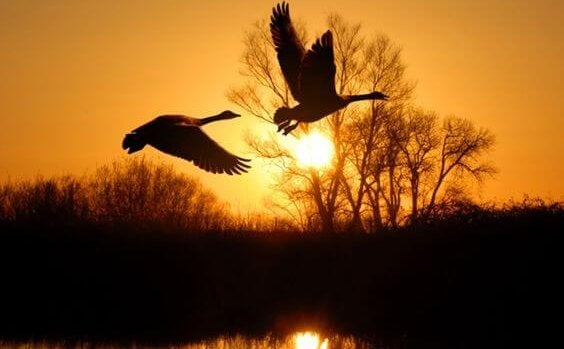 Ducks flying in sunset