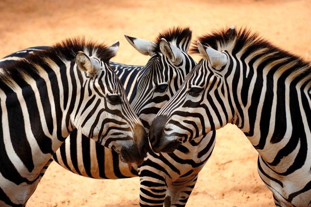 zebras being social chameleons