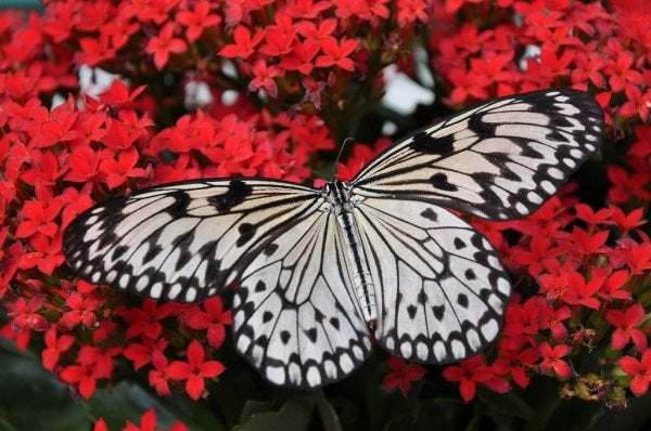 A beautiful butterfly on pink flowers.