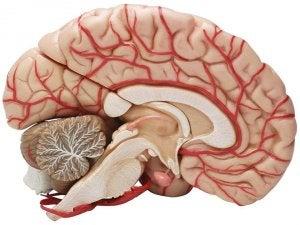 A sagital cut of the brain.
