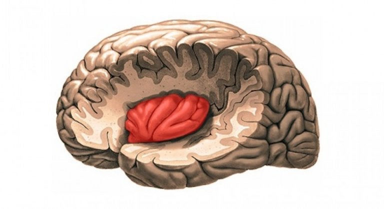 The insula found within a brain.