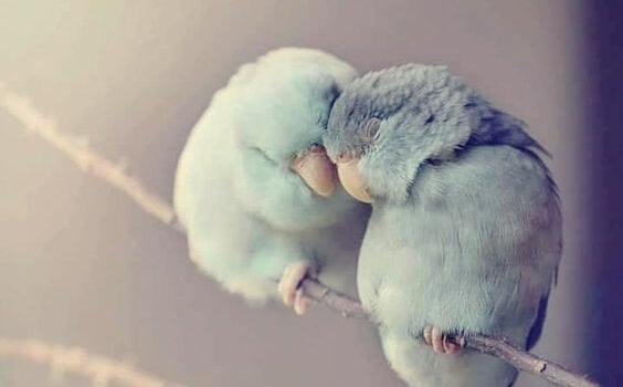 Two little birds are snuggling together.