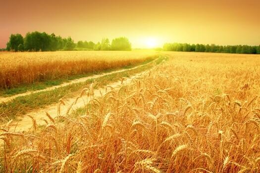 A shining field of wheat.
