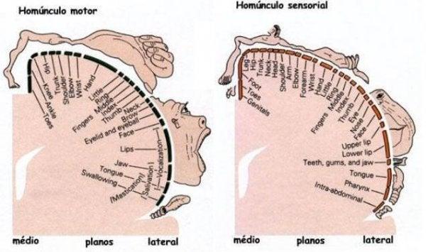Penfield Humunculus