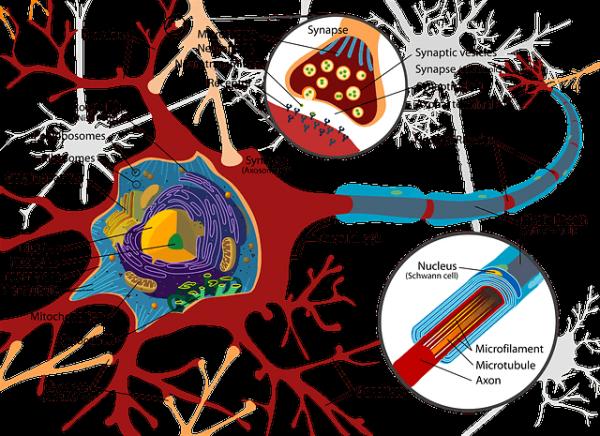 illustration of nerve showing synaptic gap