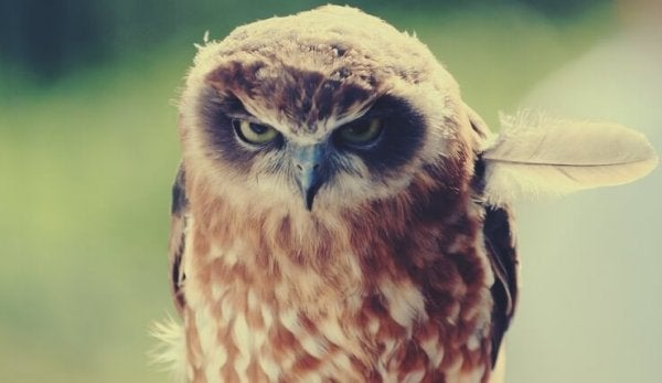angry owl symbolizing being offended