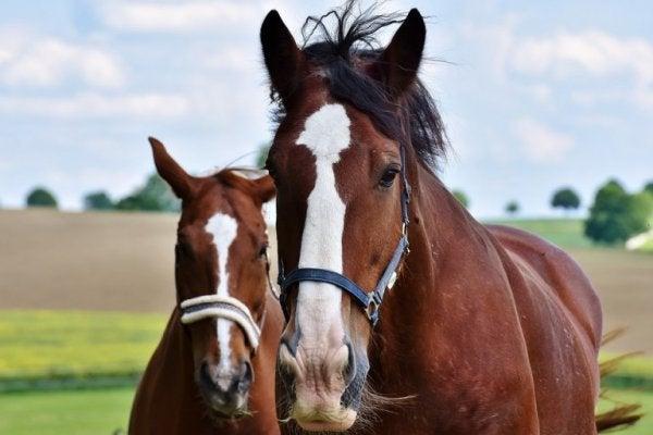 to brune heste udenfor
