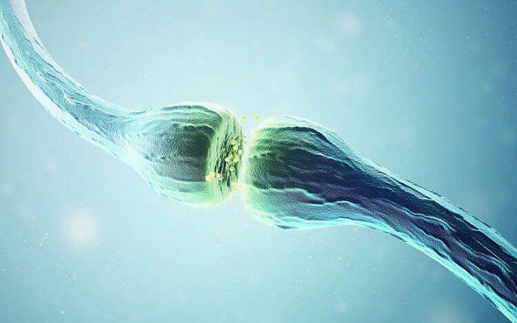 Neurotransmitter synapses.