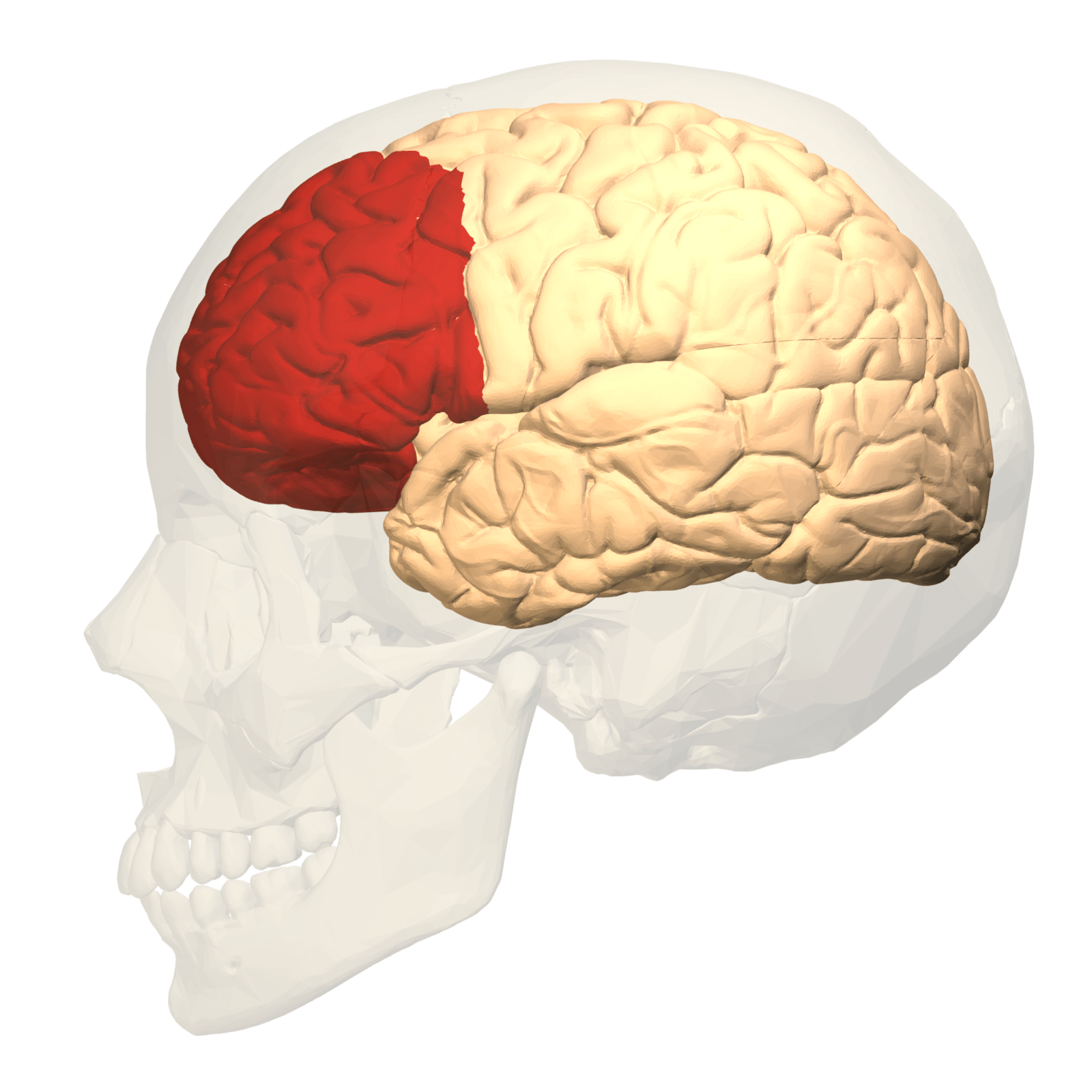 Brain with prefrontal cortex highlighted in red.