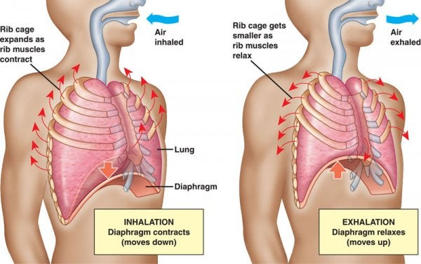 Diagram of human respiratory system and inhalation and exhalation.