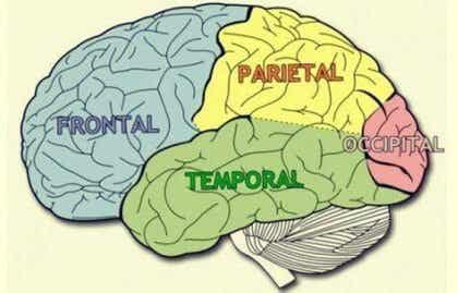 Cerebral Lobes: Characteristics and Functions