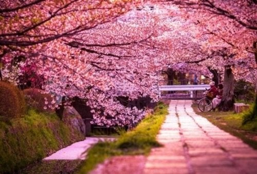 Cherry blossom trees.