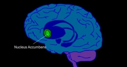 Here is the location of the nucleus accumbens in a blue brain.