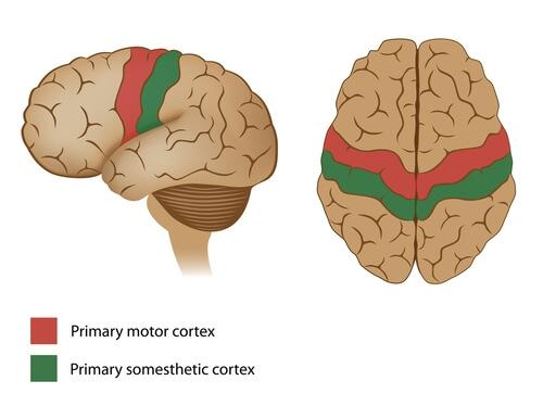 Motor cortex.