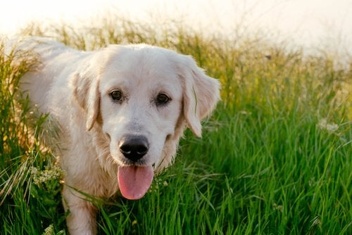 A yellow Labrador Retriever.