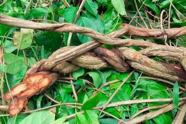 Myths and Facts about Ayahuasca