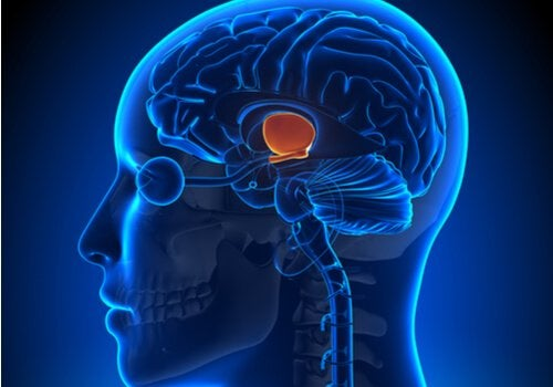 What are the Functions of the Hypothalamus?