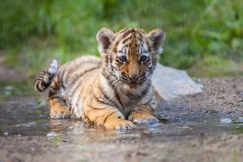 A baby tiger.