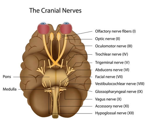 The cranial nerves in our brain.