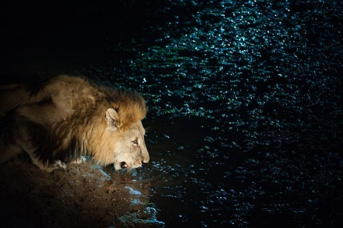A lion drinking water from a pond, just as the one from the amazing short stories to think about.