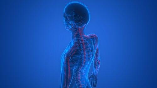 A skeleton showing the nervous system.