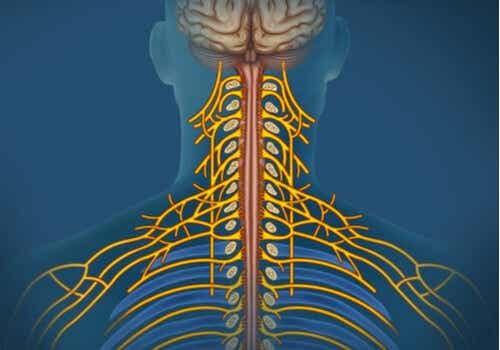 The Somatic Nervous System: Characteristics and Functions